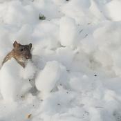 Rat dans la neige