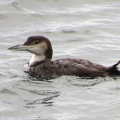 Pacific Loon!