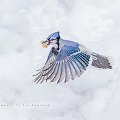 Blue Jay and it's Peanut