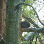 Black Squirrel Hides Under Tail In Rain