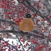 Merle en hiver