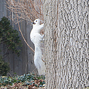 Rare white Squirrel in Georgetown