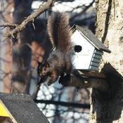 Un peu d'exercice pour l'écureuil noir