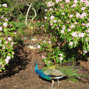 Peacocks and rhodos