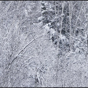 Snow laden branches, Elliot Lake.