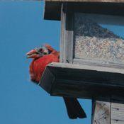 Chernobyl Cardinal?????