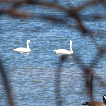 Swans on the Niagara River