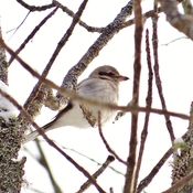 Northern Shrike upsetting other birds.