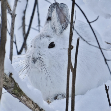 Snowshoe Hare still there.