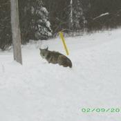 Snow Bank Lynx