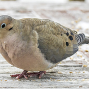 Mourning Dove with Frostbitten Toes