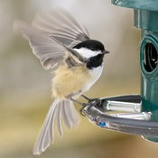 Hungry Chickadee