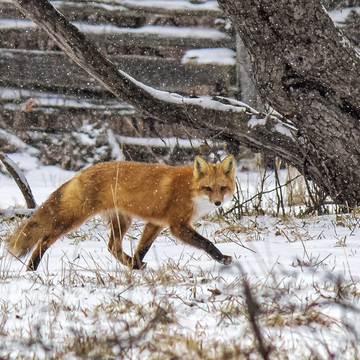 Red Fox (My friend Ginger)