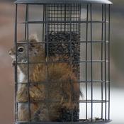 Écureuil en prison