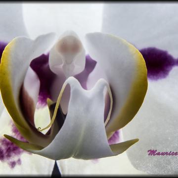 Macro de mon Orchidée