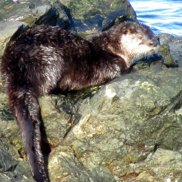 Relaxing Otter!