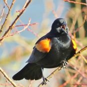 Red-Winged Blackbird!