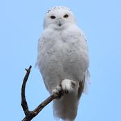 Male Snowy