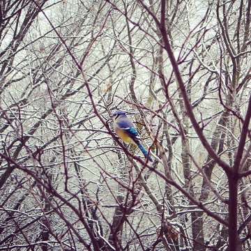 Blue Jay in Snowy Trees