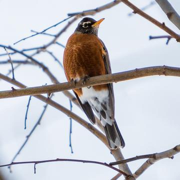 Feb 10 + Snowsquall Warning = Dozens of Robins