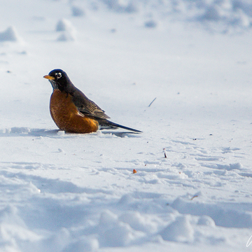 Feb 10 + Snowsquall Warning = Dozens of Robins