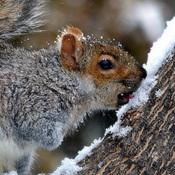 La soif de l'écureuil grix .