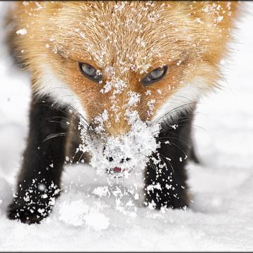 Our fox