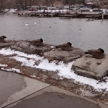 Geese in a row on a cold winter's day