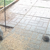 Squirrel vs Rat - Who will Win?