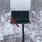Snow capped feeder with Cardinal