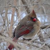 Madame Cardinal… est imposante!