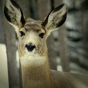 Doe a Deer, A Female Deer...