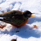 Robin having hard time cold morning