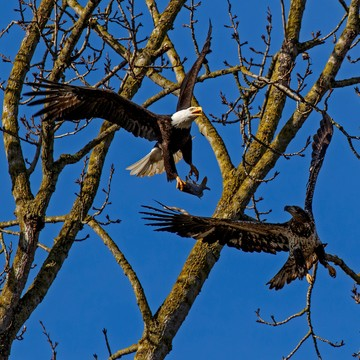 Adult Bald Eagle and Juvenile Bald Eagle