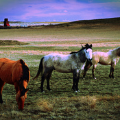 Horses! - Grazing the Muddy Lake Valley in Saskatchewan in April