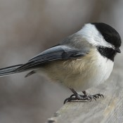 Black-capped Chickadee!