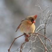 Female Cardinal!