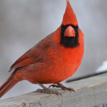 Male Cardinal!