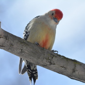 Red-bellied Woodpecker!