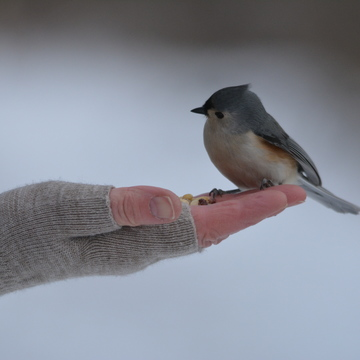 Tufted Titmouse!
