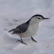 White-breasted Nuthatch!