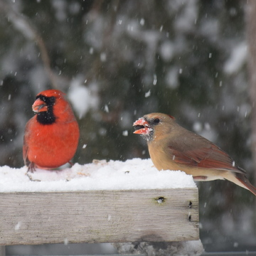 Mr and Mrs Cardinal