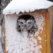 Screech Owl in snow squall Feb 12