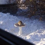 Bunny in the Birdbath