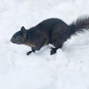 Écureuil noir à la course
