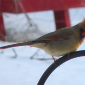 Female cardinal waits her turn