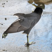 Coot Stretch