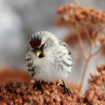 Redpoll on Sedum