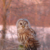 One eyed Barred owl near Bath Ontario