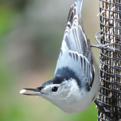 Happy Snappy Nuthatch